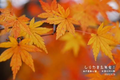 shirabomomiji_top.jpg