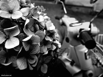 ajisai_hk2010.jpg