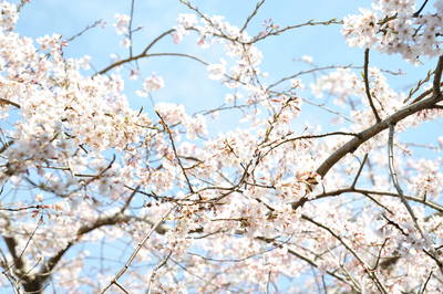 hannya_sakura1000.jpg