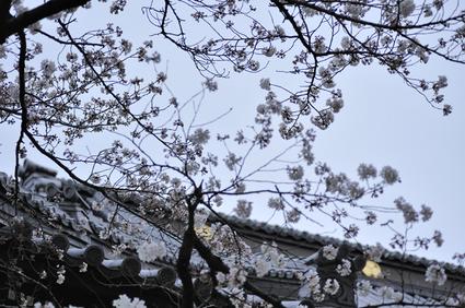 kaneji_sakura.jpg